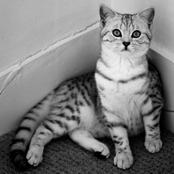 Tabby British Shorthair in Black and White