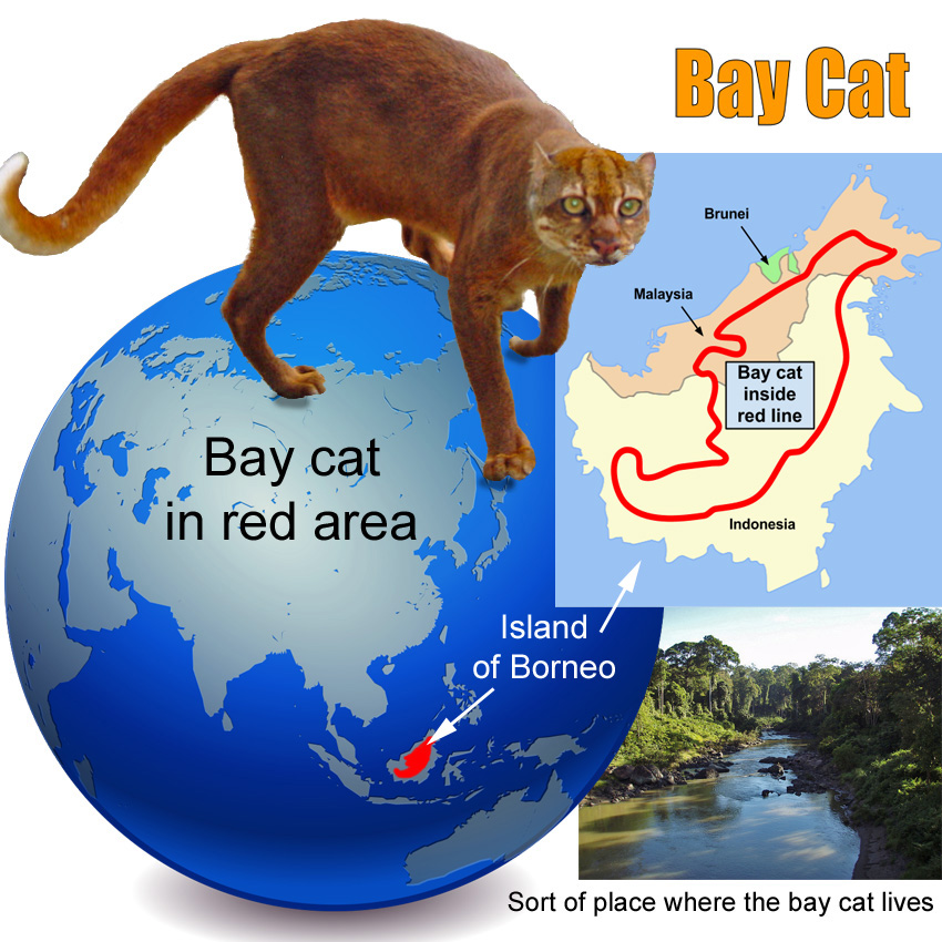 Bay Cat Facts For Kids