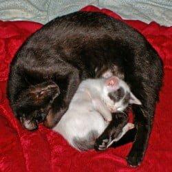 black-cat-and-little-van-type-kitten