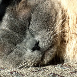 Blue Point Siamese with Square Face