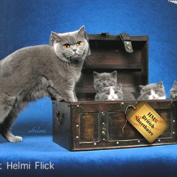 British Shorthair Family