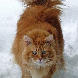 Classic Red Maine Coon in Snow