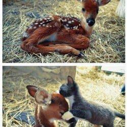 deer-fawn-and-kitten