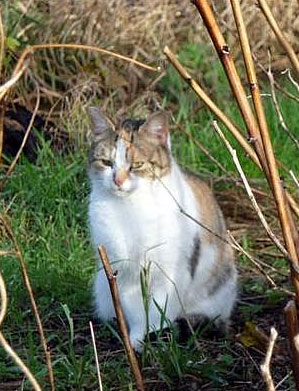 Feral cat in an allotment, Birmingham, England