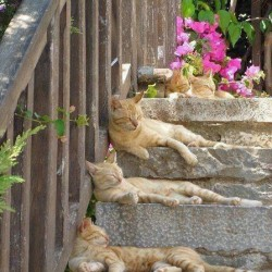 Five ginger tabby cats