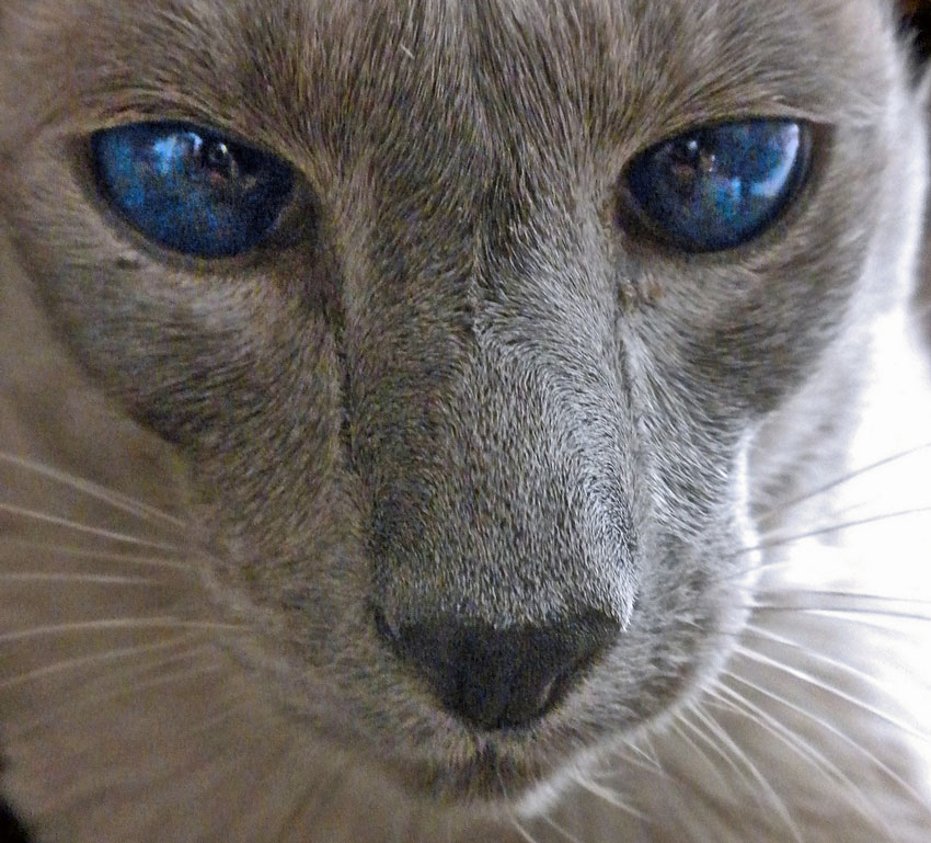 Glossy Blue Globes of Eyes on Blue Siamese Cat