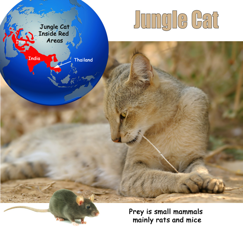 Jungle Cat Facts For Kids
