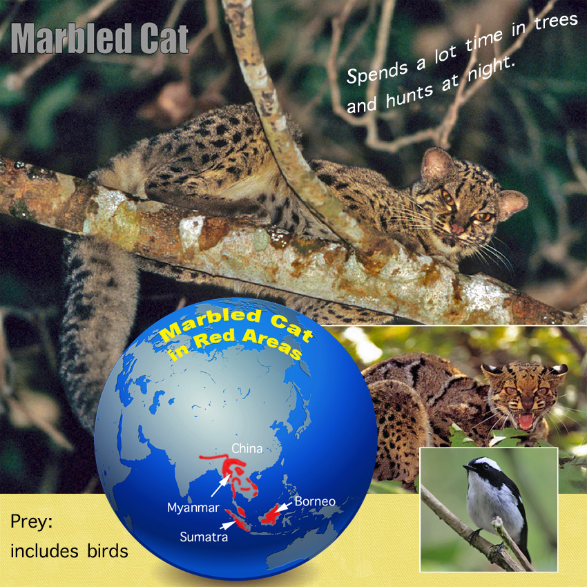Marbled Cat Facts For Kids