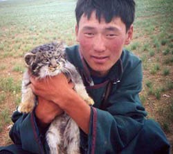 Pallas's cat in Mongolia