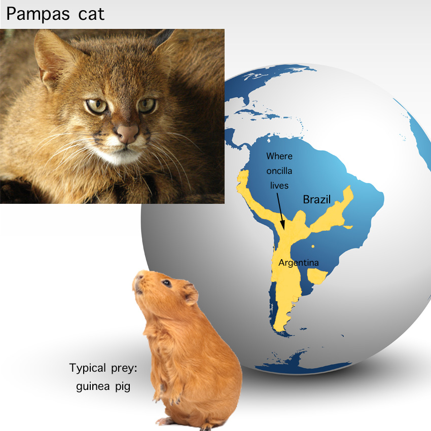 Pampas Cat Facts For Kids