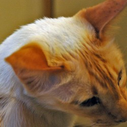 Red Pointed Balinese Cat