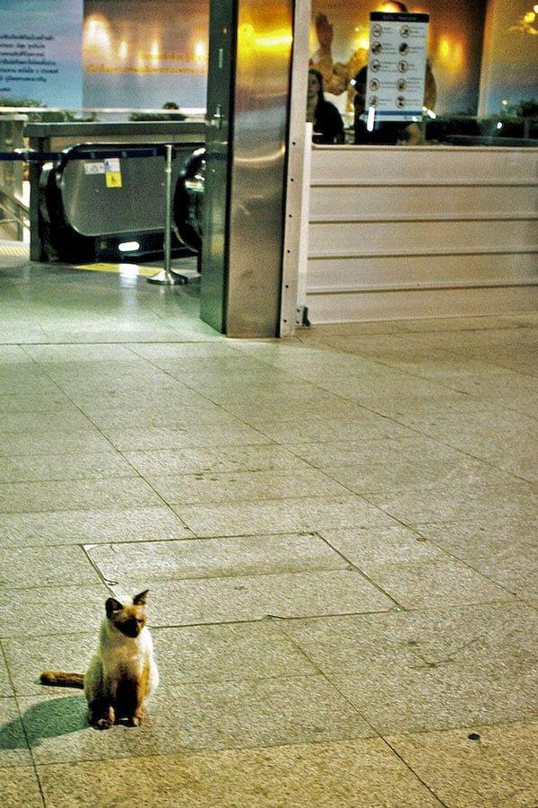 Siamese Cat in Thailand
