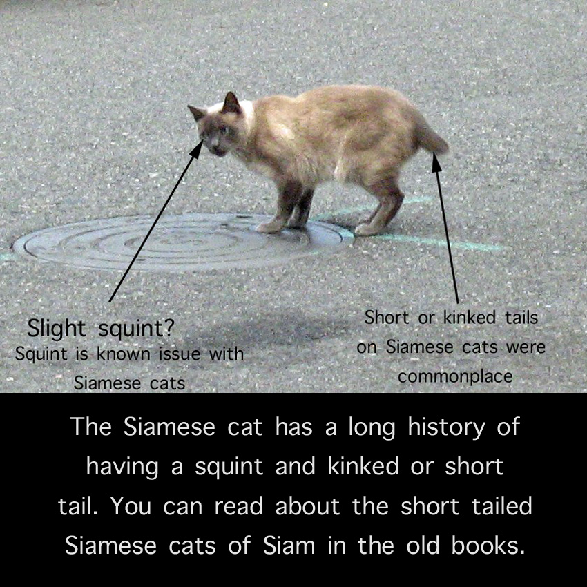 Siamese Cat with Squint and Short Tail