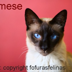 Siamese Shelter Cat