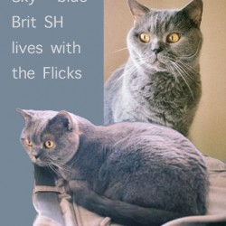 SKY a Blue British Shorthair
