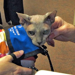 sphynx-therapy-cat-piglet-1