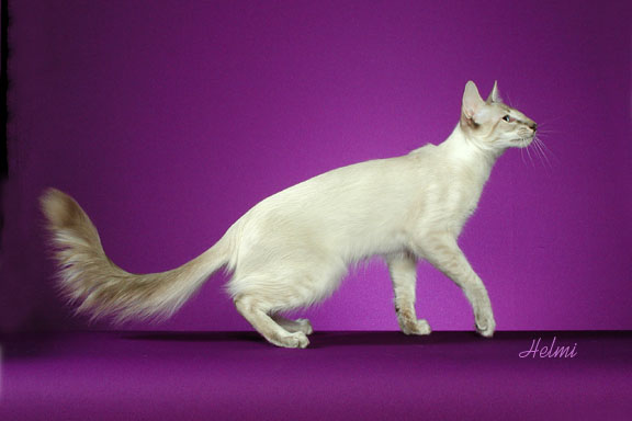 Balinese cat with plumed tail