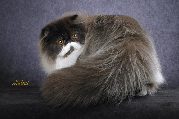 Shakira Persian cat with great tail