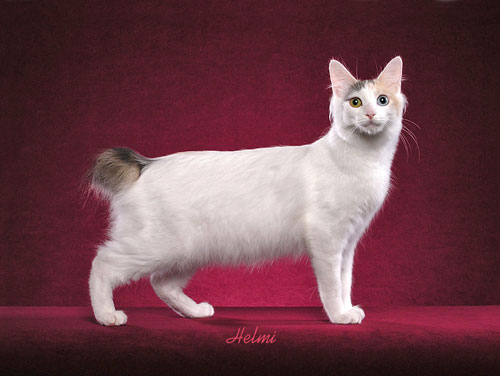 Japanese Bobtail powder puff tail