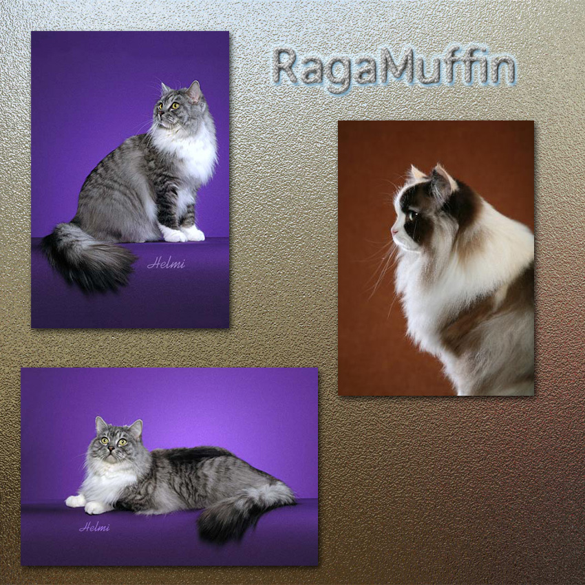 RagaMuffin Cat Facts For Kids