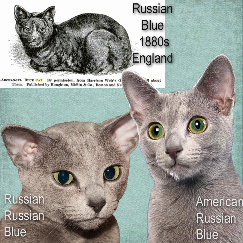 Russian Blues of Russia and America