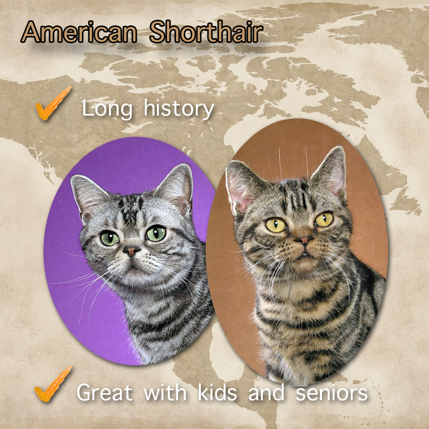 American Shorthair Cat Facts For Kids. Photos copyright Helmi Flick.