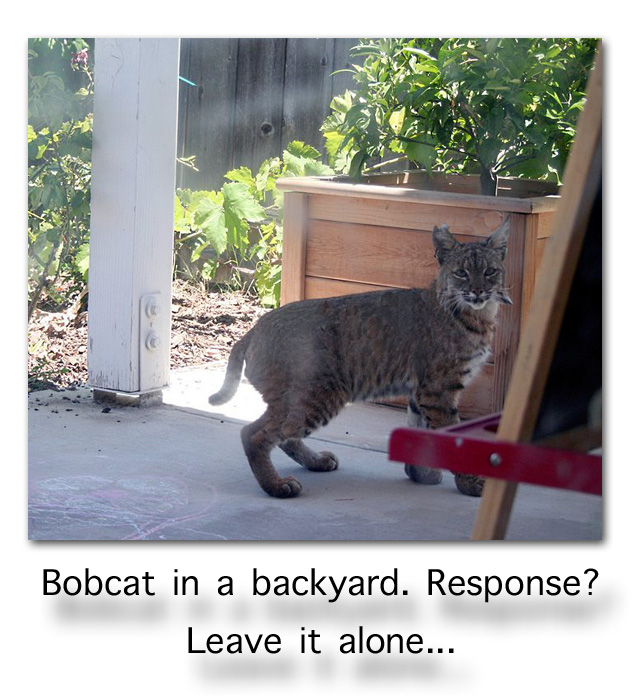 Bobcat in a backyard