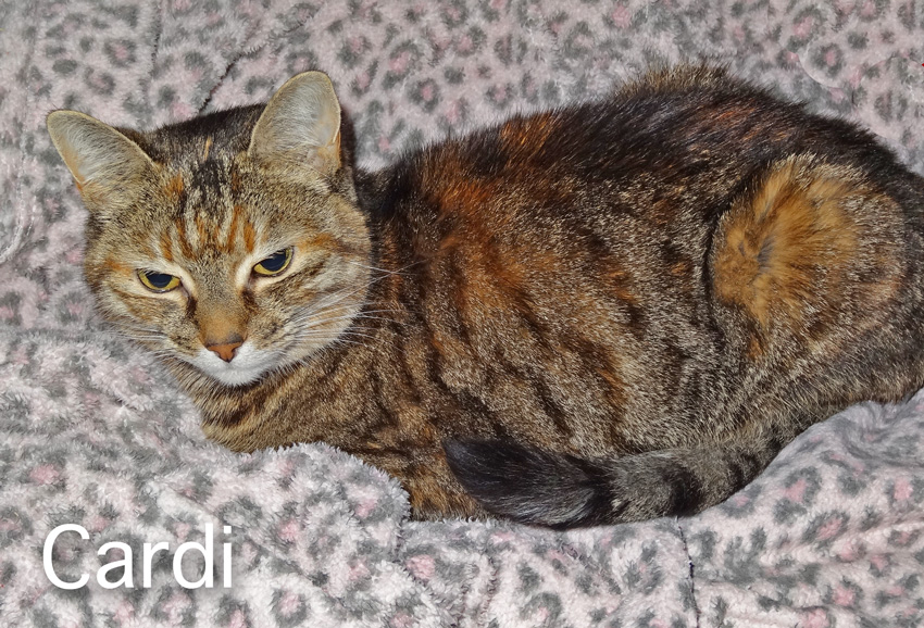 Cardi a cat who shakes her head and who has cancer. She has a beautiful tabby coat. Photo by Michael.