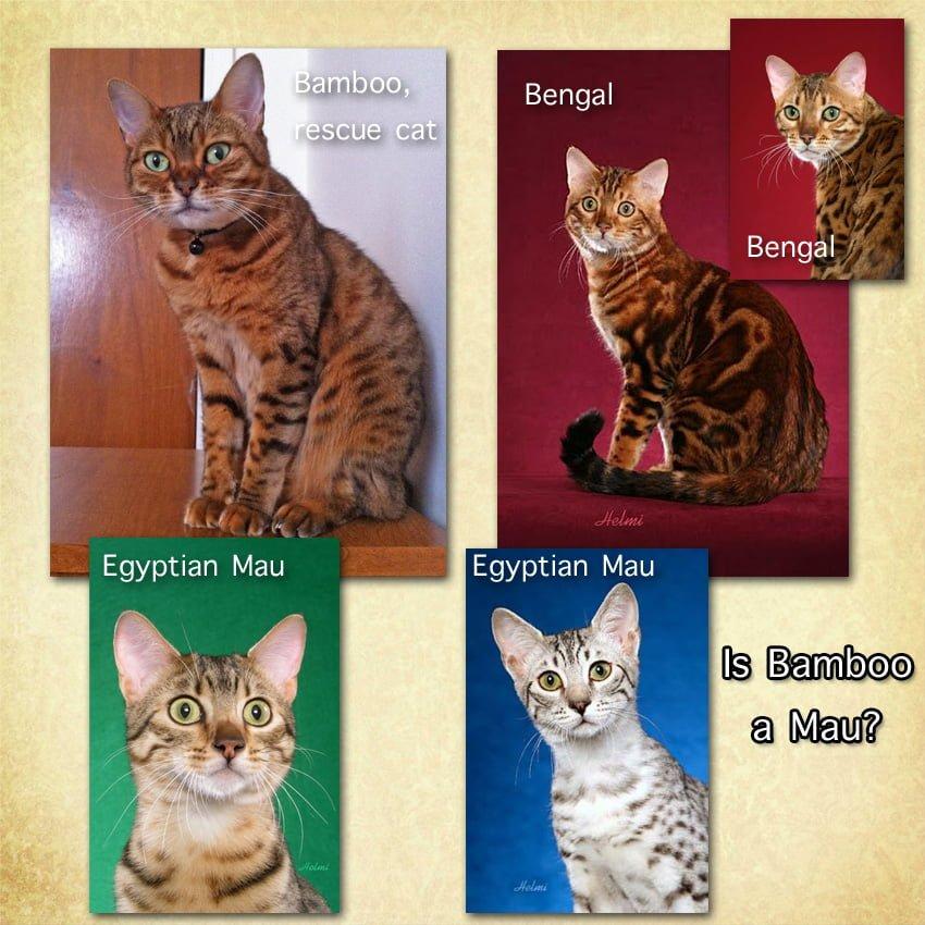 Egytpian Mau or Bengal Cat?