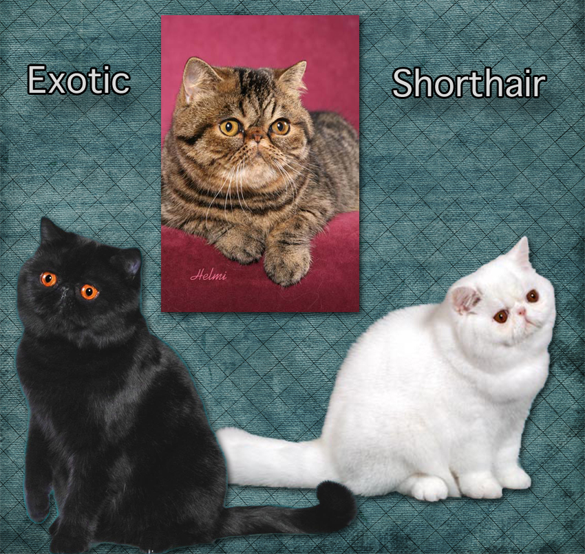 Exotic Shorthair cat facts for kids