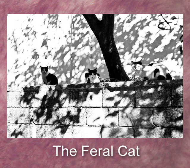 feral cats essay I caught three feral cats in my trap and let them go it began to snow still  searching, i would sometimes see little cat tracks in the snow near dumpsters full  of.