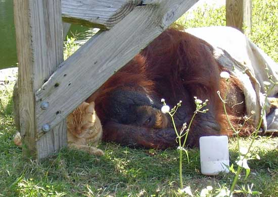 Ginger cat friends with organutan