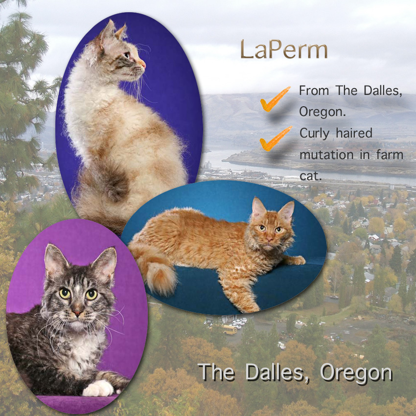 LaPerm Cat Facts For Kids