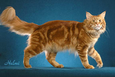 red tabby Maine Coon called Ace