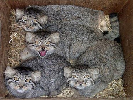Pallas cat picture