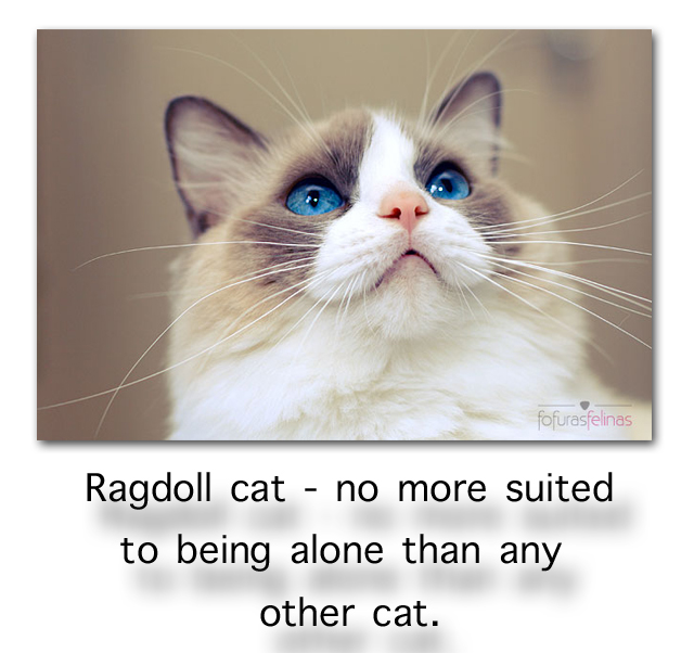 Ragdoll cat as a single cat