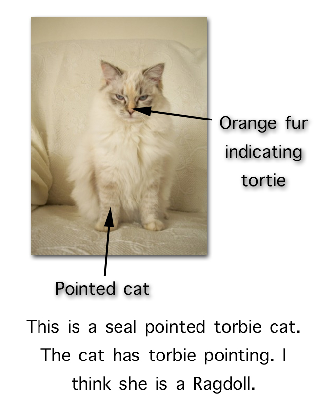 Seal Pointed Torbie Cat