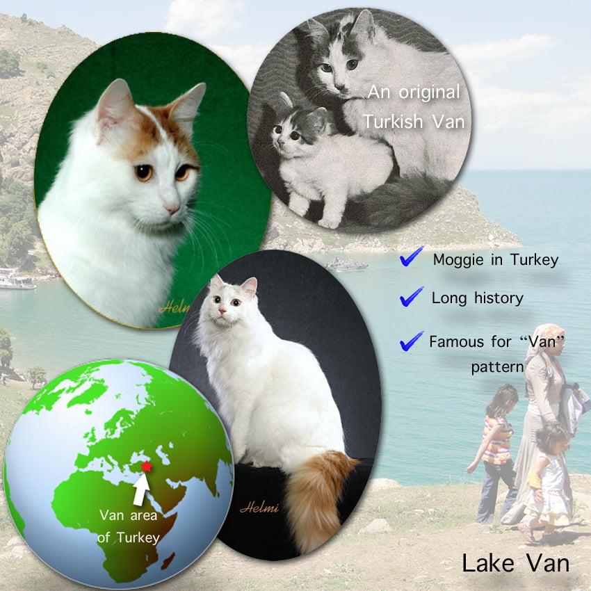 Turkish Van Cat Facts For Kids
