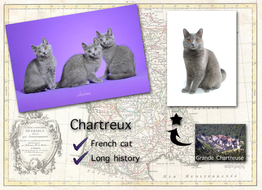 Chartreux Cat Facts For Kids