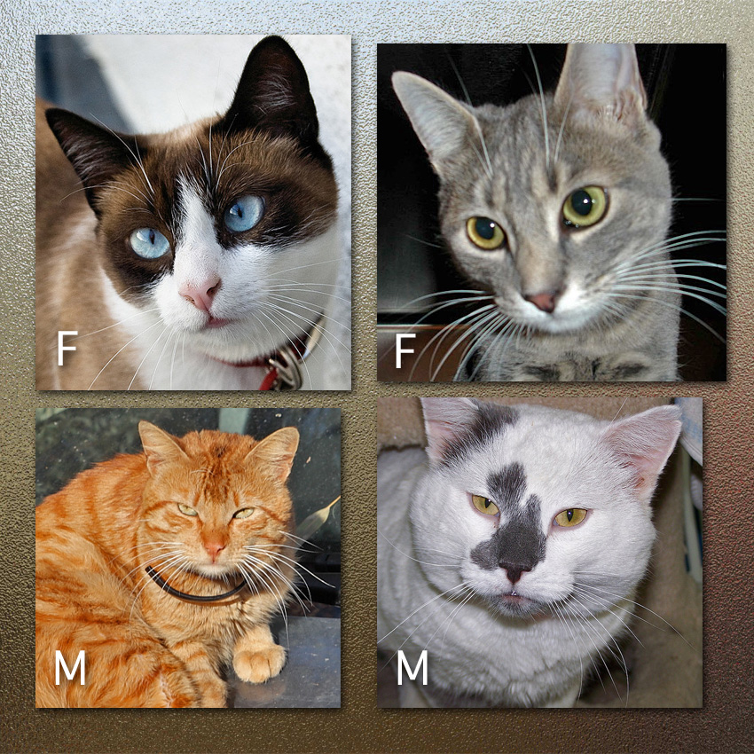Difference Between Male And Female Cat Faces