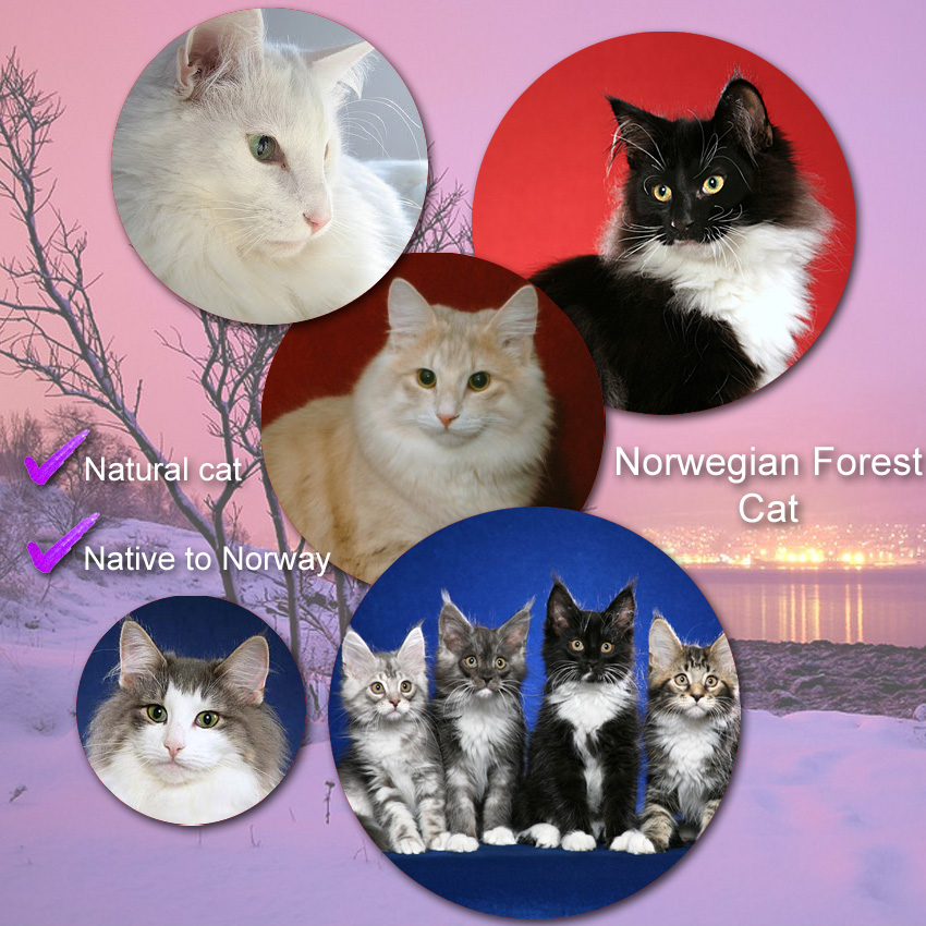 Norwegian Forest Cat Facts For Kids