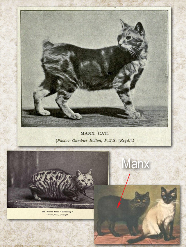 Original early Manx cats