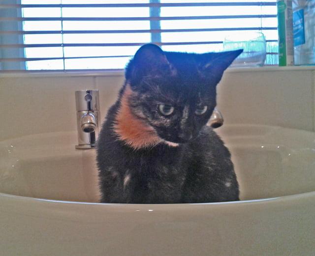 Tortoiseshell rescue cat