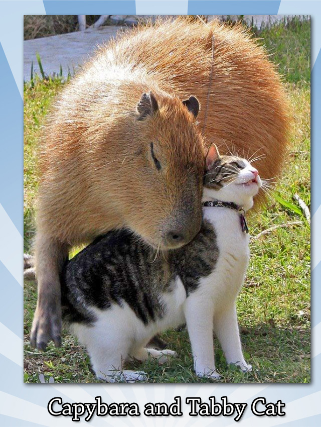 Capybara and tabby cat