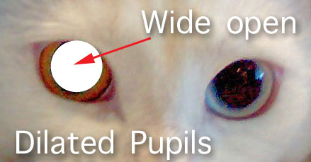 Dilated cat's eyes