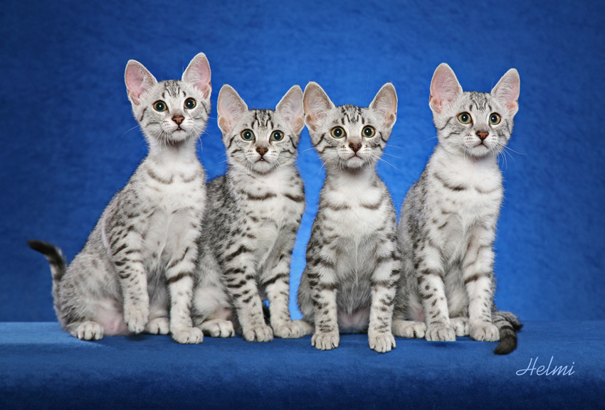 Four Egyptian Mau Kittens