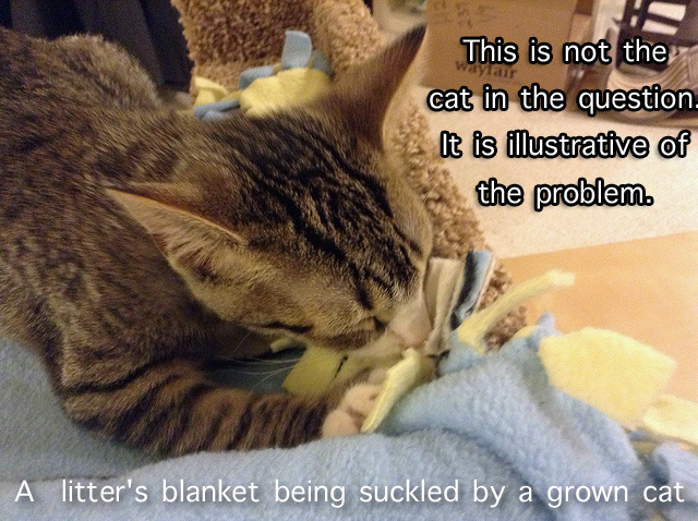 Cat sucking a blanket