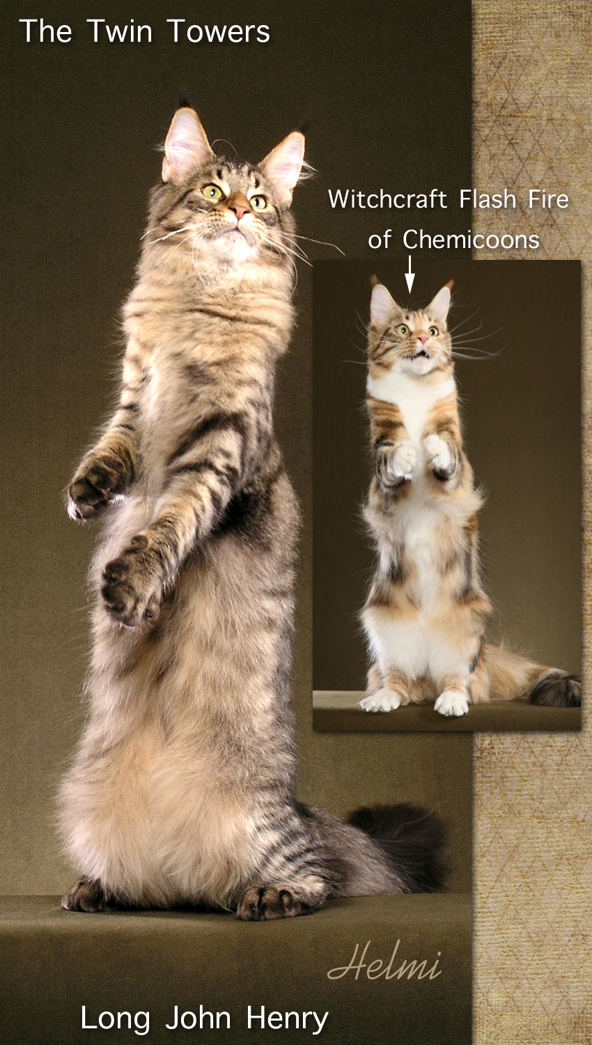 Long and tall Maine Coon cats