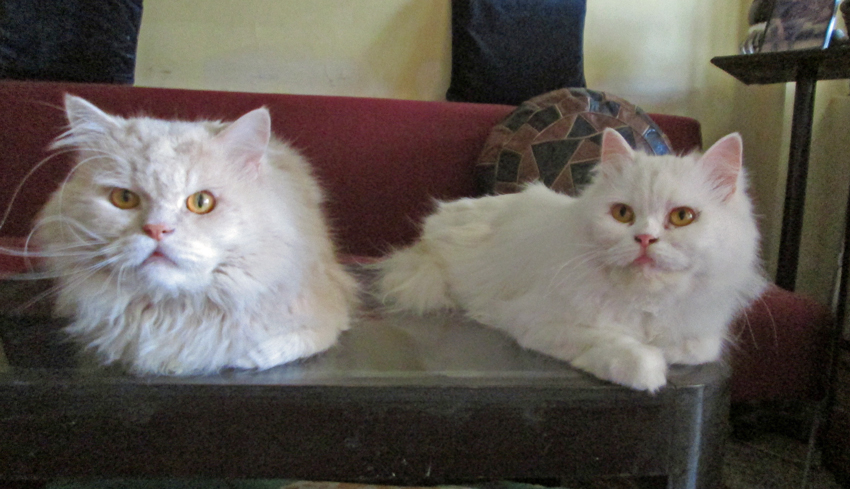 Persian cats in India