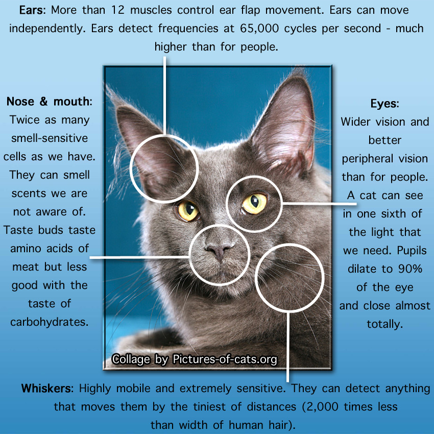 Cat senses for survival